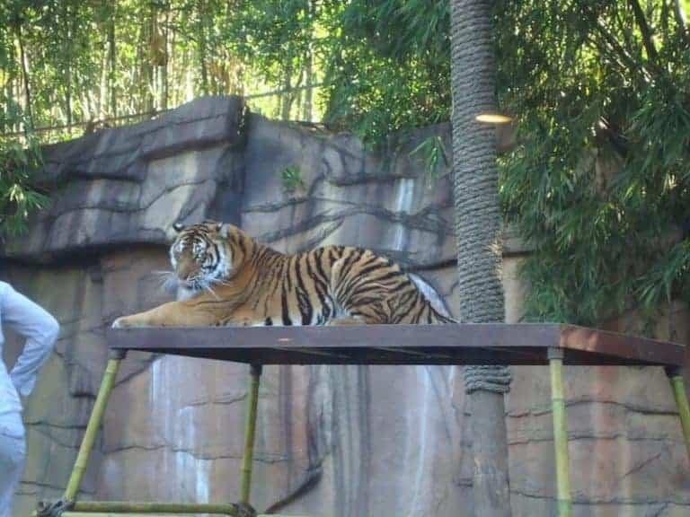 australia zoo tiger