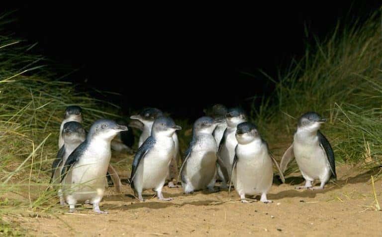 bunyip tours penguin parade