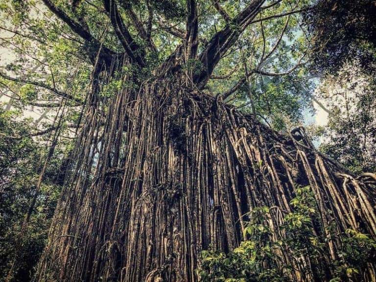 curtain fig tree atherton tablelands