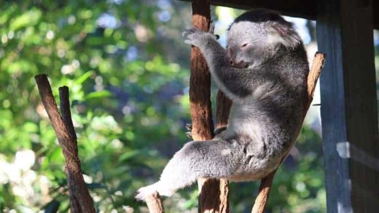 koala lone pine koala sanctuary