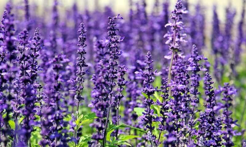 mosquito repellant plants - lavendar