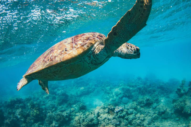 things to do in cape tribulation snorkel with turtles
