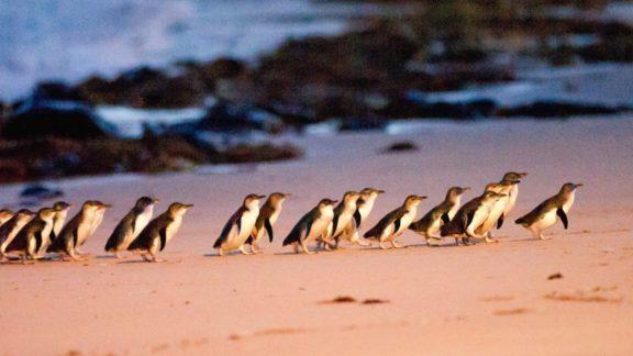 penguin parade phillip island bunyip tours