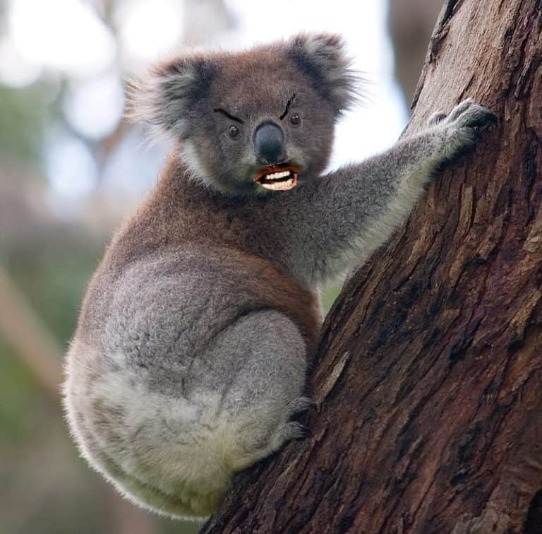 Top five scary australian animals which ones scare you drop bear sciox Gallery