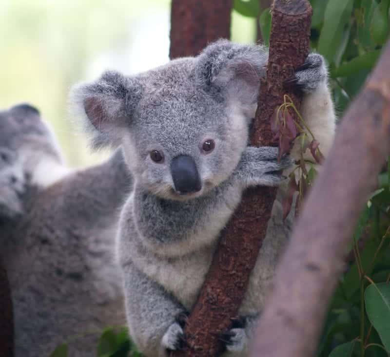 koala gold coast