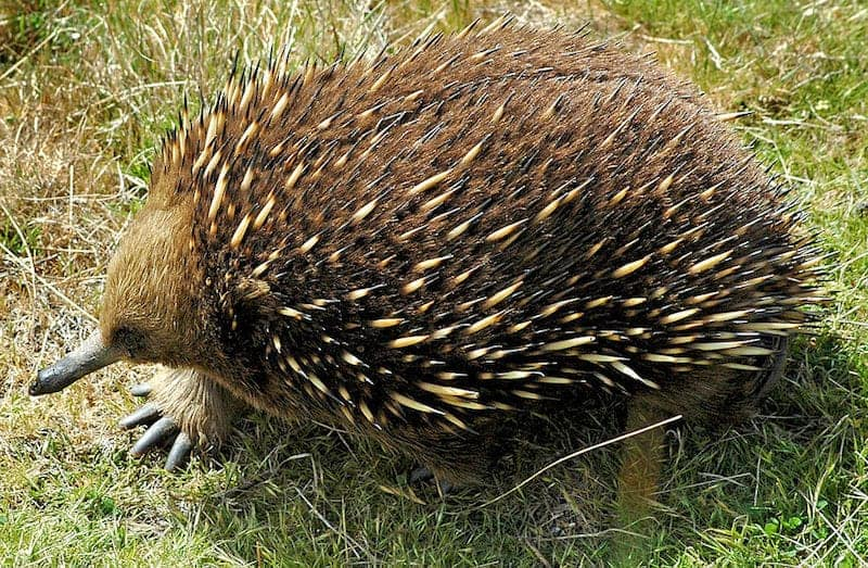 echidnas are native australian animals