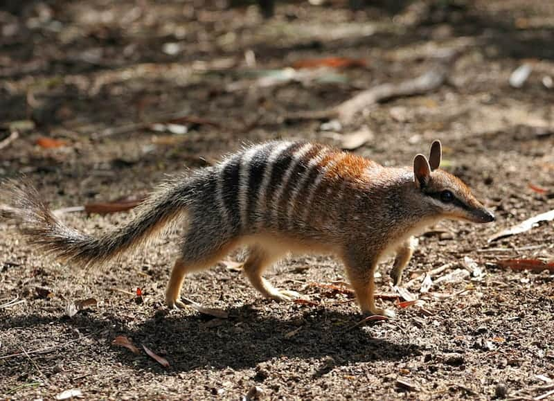 4f6140b87b085f numbat native australian animals